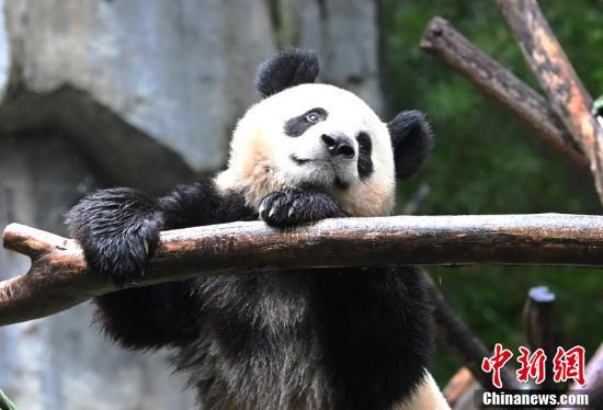 """成都大熊猫""""金宝""""因长相潦草而走红"""