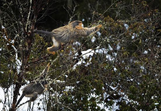 四川夹金山春雪初霁 百余川金丝猴现身觅食
