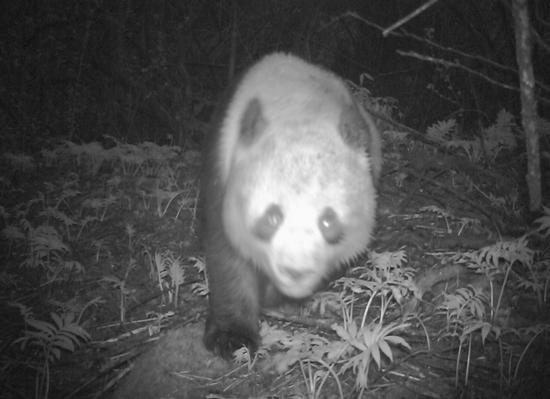 发现一只小可爱!亚成体大熊猫现身都江堰 独自寻找新领地