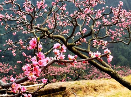 漫山遍野桃花盛开