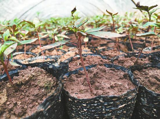 在日本种植并已出苗的青花椒。 受访者供图