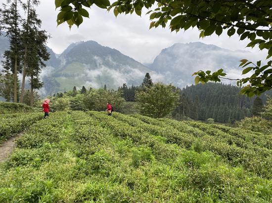 茶农在茶园里采茶 供图 芦山县委宣传部