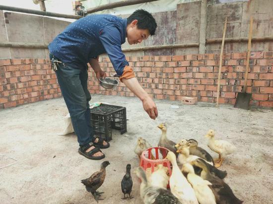 李应华正在投喂小鸡小鸭