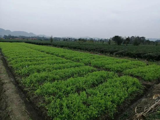 芥菜育苗基地