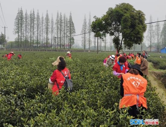 眉山洪雅 社工组队助农采春茶