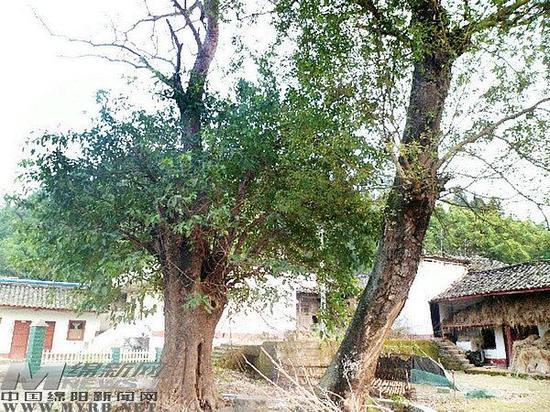 两棵古树上长出黄葛树