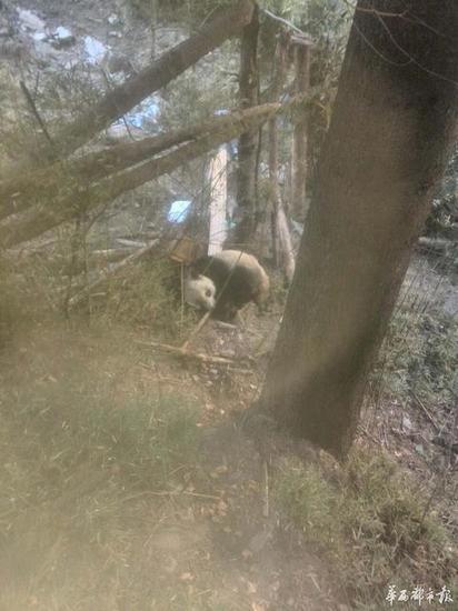 巡护人员发现一只受伤的野生大熊猫