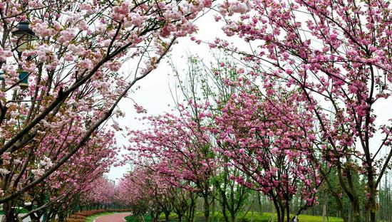 青白江凤凰湖樱花