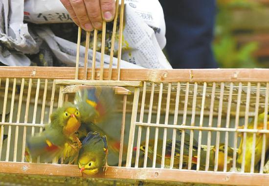 4月13日,成都黄田坝花鸟市场,警方将查收的本地野生成年暗绿绣眼鸟现场放生。