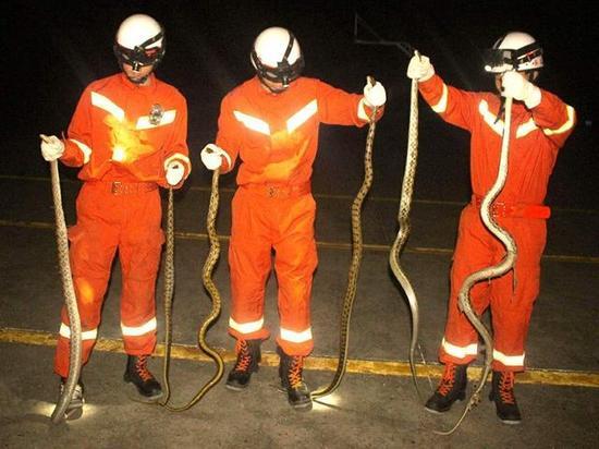 消防官兵抓蛇