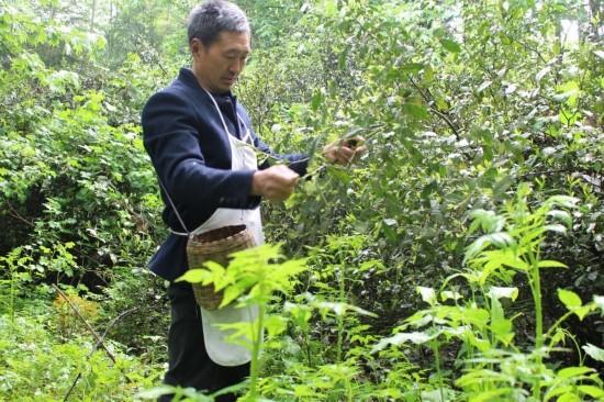 邛崃大同乡惊现野生茶树群