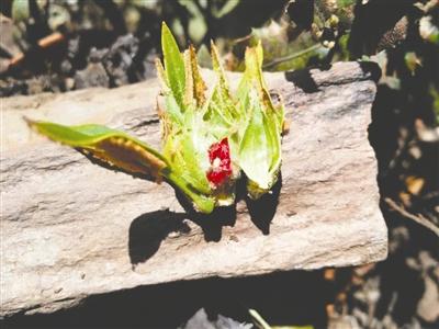 """会东杜鹃的花蕾与众不同,""""花中花""""看起来十分漂亮"""