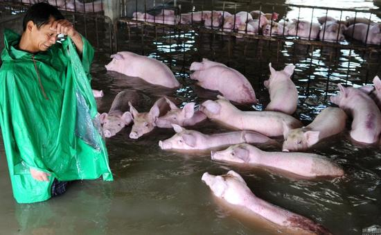 6000头生猪浸泡水中