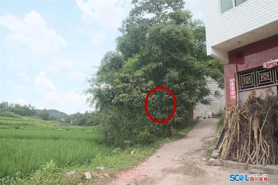 被击中的枇杷树位于两课枇杷树中间,旁边有一棵约10米高的千丈树