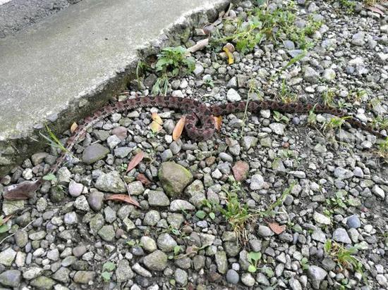 吴先生拍到的毒蛇(受访者供图)