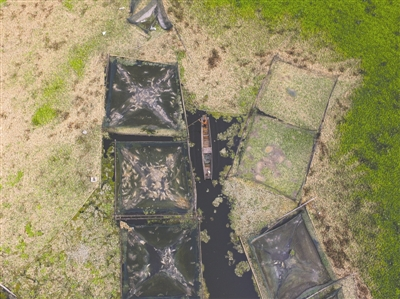 眉山市岷东新区富牛镇河东村上千亩水域长满水白菜,致十万斤鱼死亡 张建 摄