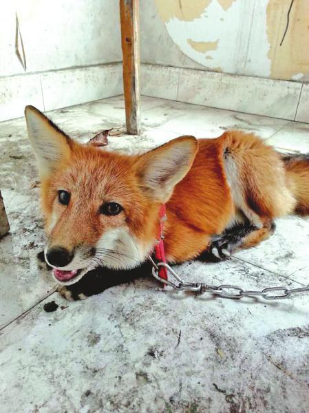 赤狐 图由受访者提供
