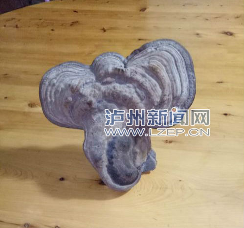 葛志勇发现的形似大象头的树舌