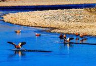 阿坝关停砂场恢复生态 赤麻鸭来了
