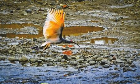 50只朱鹮从浙江、河南和陕西引入四川。