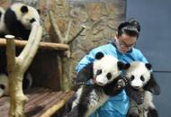 跟熊猫腻在一起 成都这个奶爸走红