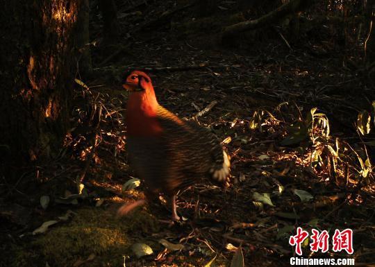 """图为中国境内首次在自然环境中拍摄到的野生灰腹角雉。""""自然影像中国·美丽生态德宏""""摄影年项目组供图"""