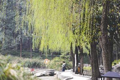 浣花溪公园里的垂柳