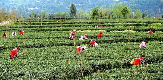 洪雅茶园,茶农正在采摘新鲜绿茶