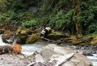 四川宝兴现野生熊猫河边喝水