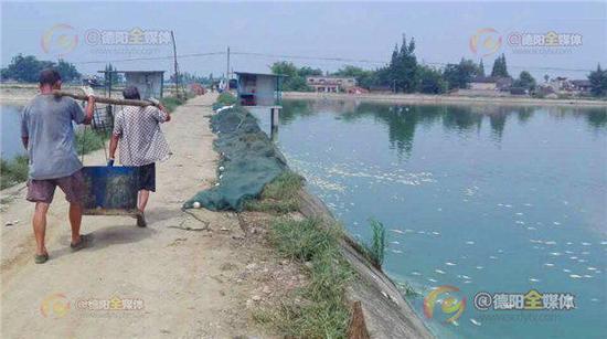 德阳气温飙升 十七万尾加州鲈鱼被热死