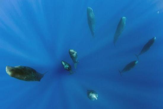 摄影师捕捉抹香鲸群竖立打盹画面