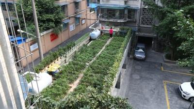 小区车库楼顶上的菜园