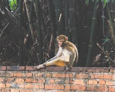 """峨眉山最后一只""""合影专用猴"""""""