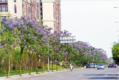 """今年武侯区进行道路绿化综合治理,呈现出一路花香一路景的靓丽""""妆容""""。 图为智谷大道上种植的蓝花楹"""