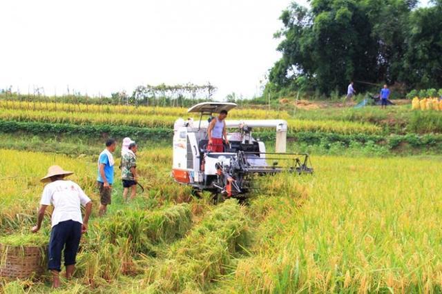 四川水稻收割陆续开镰 大春粮食作物已收获近两成