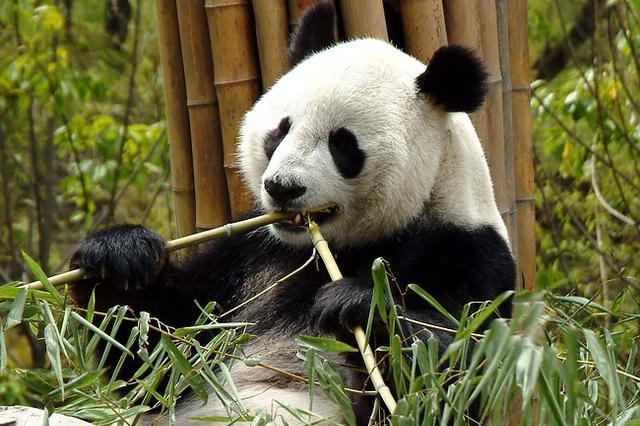 九寨沟地震后卧龙大熊猫安然无恙