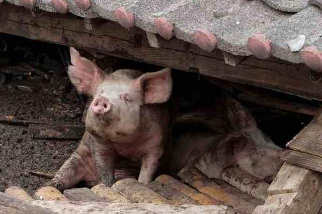 汶川地震猪坚强腿没了 博物馆:四肢健全一切安好