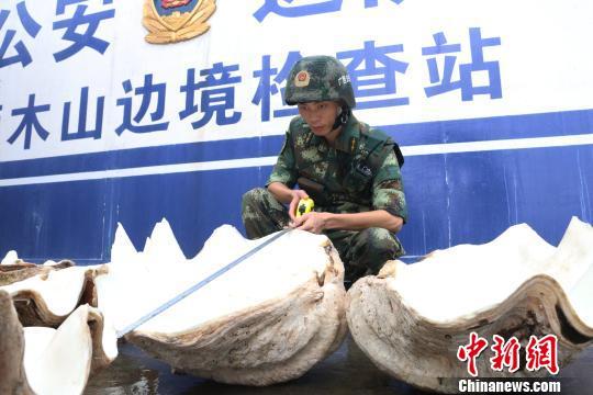 广西防城港查获国家一级保护动物砗磲标本