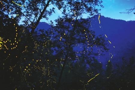 2015年6月10日,邛崃山天台山景区,满天飞舞的萤火虫。