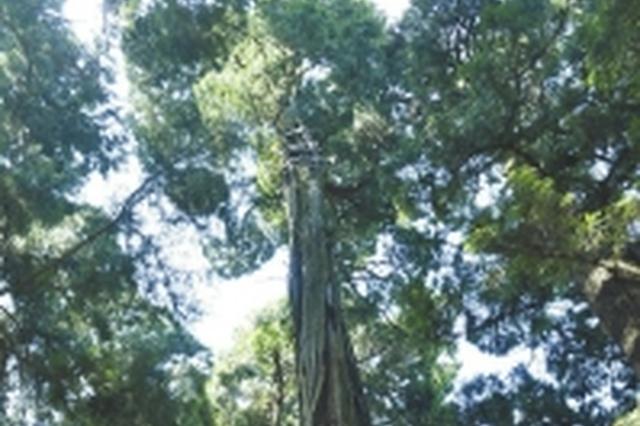 蜀道翠云廊树坚强全球仅一株 2300岁剑阁柏重启繁育