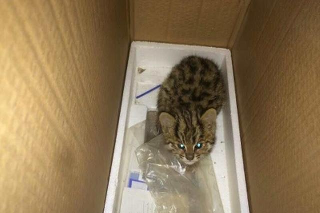 绵阳工地施工惊现珍奇动物 原来是只小猫豹
