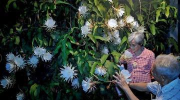 成都老夫妻50年种出年开300朵的昙花树