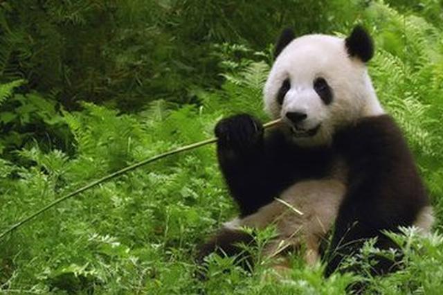大熊猫彩陶与湖春 9月28日将前往印尼