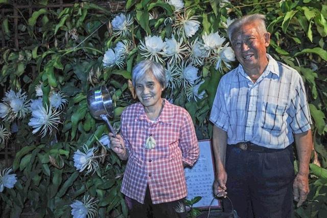 成都夫妻养昙花49载 长成昙花树每年开花300朵