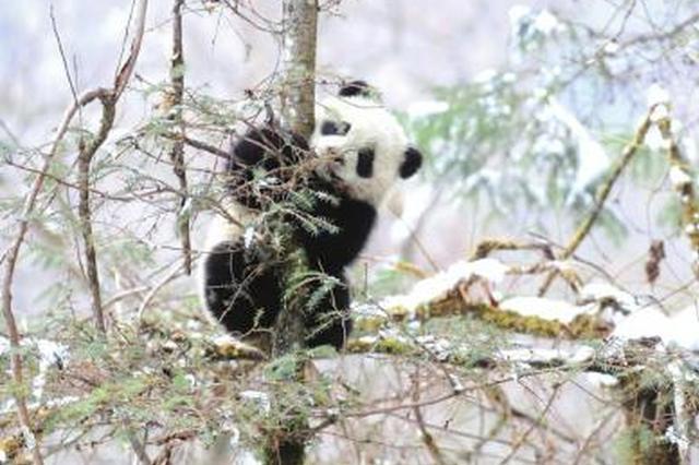 四川卧龙野外监测获得大量珍稀野生动物资料