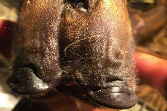 宜宾一头母猪产下两头三眼猪崽 吃奶两张嘴巴一起动