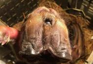 宜宾母猪产下两头三眼猪崽