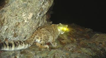 卧龙或为全世界距人类最近的雪豹出没地