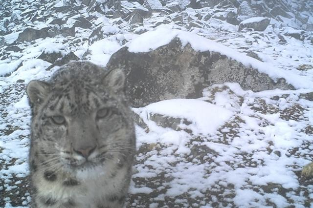 世界雪豹日丨卧龙发布雪豹调查与监测成果:状况良好