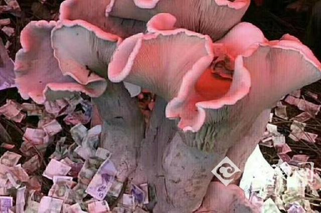 云南巨型蘑菇王引万人围观 已被林业局带走制作标本